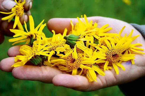 Лекарственное растение арника: полезные свойства травы, показания и противопоказания в медицине, инструкция по применению