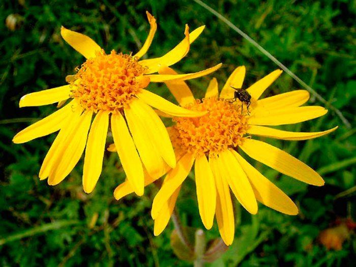 Арника сахалинская (Arnica sachalinensis) — описание, выращивание, фото